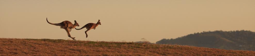 two kangaroos panorama